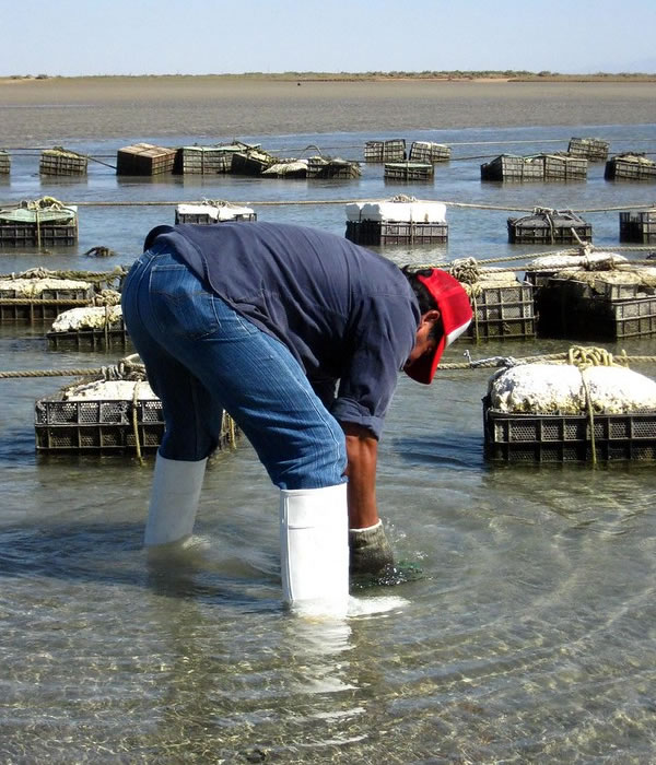 Oyster production area